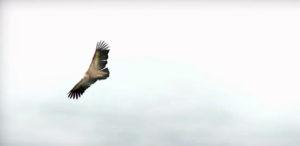 Condor Melis
